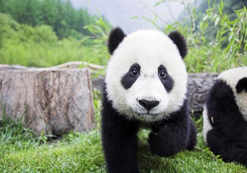环境清幽,熊猫精灵憨态可掬,活泼可爱.